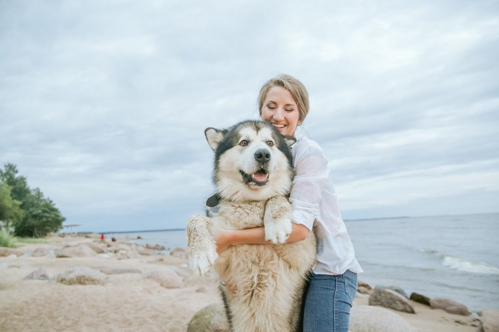 alaskan malamute on the beach