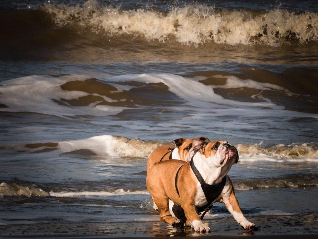 2 bull dogs on the beach running